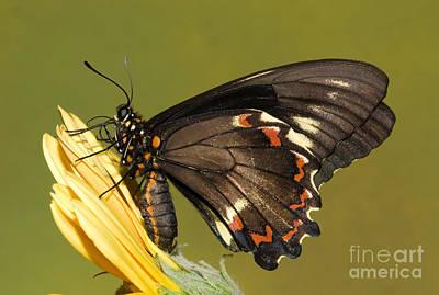 Battus Photograph - Gold Rim Swallowtail Butterfly by Millard H. Sharp