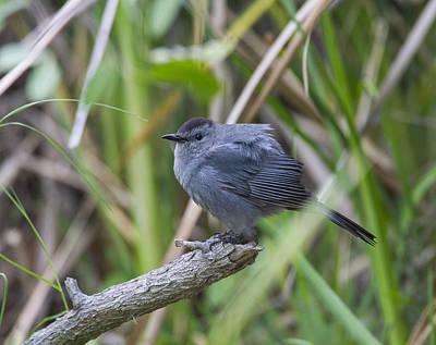Photograph - Gray Catbird by Doug Lloyd