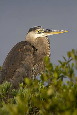 Photograph - Great Blue Heron by Doug Lloyd