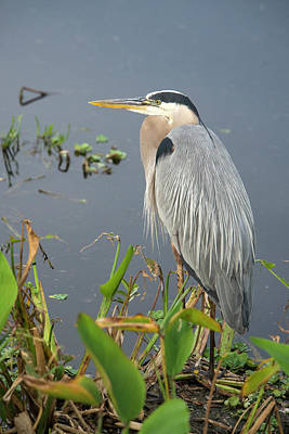 Standing Photograph - Great Blue Heron by Mark Newman