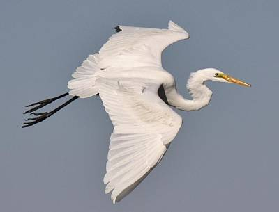 Great White Egret In Flight Print by Paulette Thomas