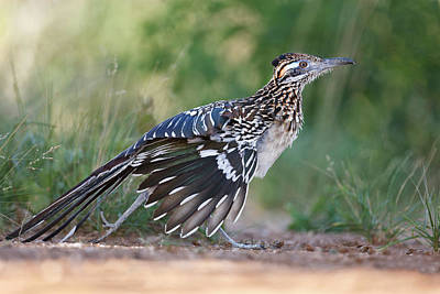 Roadrunner Photograph - Greater Roadrunner (geococcyx by Larry Ditto
