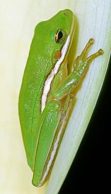 Photograph - Green Treefrog by Millard H. Sharp