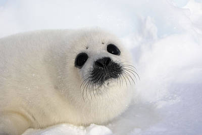Canadian Wildlife Photograph - Harp Seal Baby by M. Watson