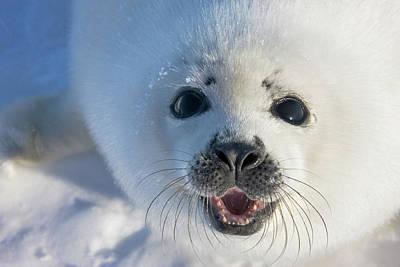 Harp Seal Pup On Ice, Iles De La Art Print
