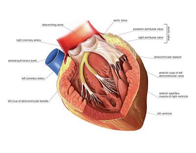 Heart Art Print by Asklepios Medical Atlas