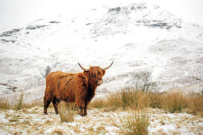 Bull Art Wall Art - Photograph - Highland Cow by Grant Glendinning