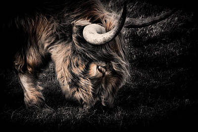Cow Humorous Photograph - Highland Cow by Ian Hufton