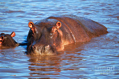 Photograph - Hippopotamus In River. Serengeti. Tanzania by Michal Bednarek