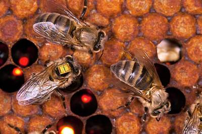 Technical Photograph - Honey Bee Pesticide Research by Philippe Psaila