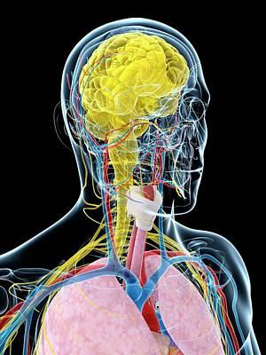 Human Brain Photograph - Human Brain Anatomy by Sebastian Kaulitzki