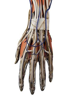 Human Hand Muscles Art Print by Sciepro
