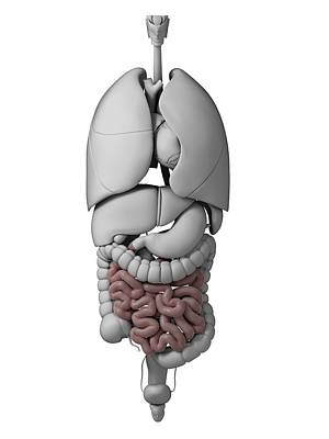 Internal Organs Photograph - Human Internal Organs by Sebastian Kaulitzki