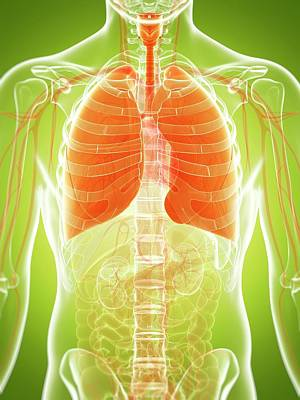 Biomedical Illustration Photograph - Human Lungs by Sebastian Kaulitzki