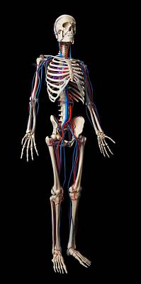 Biomedical Illustration Photograph - Human Vascular System by Sebastian Kaulitzki