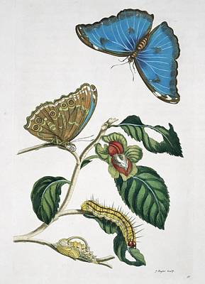 Insects Of Surinam, 18th Century Art Print by Science Photo Library