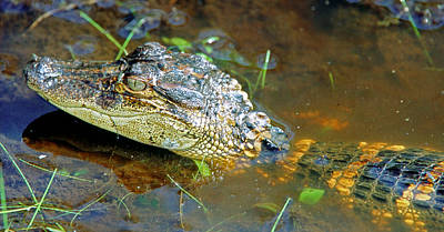 Photograph - Juvenile American Alligator by Millard H. Sharp