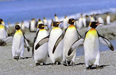 King Penguin (aptenodytes Patagonica Art Print by Martin Zwick