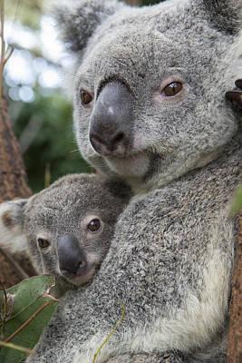 Photograph - Koala Mother And  Joey  by Suzi Eszterhas