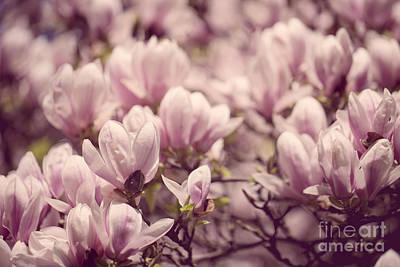 Cultivated Photograph - Magnolia Flowers by Nailia Schwarz