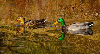 Mallard Ducks Art Print by Brian Stevens