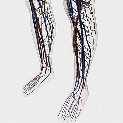 Peroneal Nerves Digital Art - Medical Illustration Of Arteries, Veins by Stocktrek Images