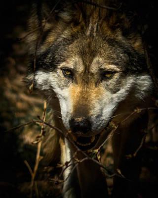 Wild Dog Digital Art - Mexican Grey Wolf by Ernie Echols