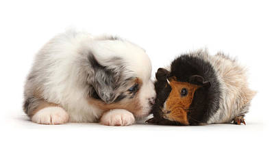 Photograph - Miniature American Shepherd Puppy by Mark Taylor