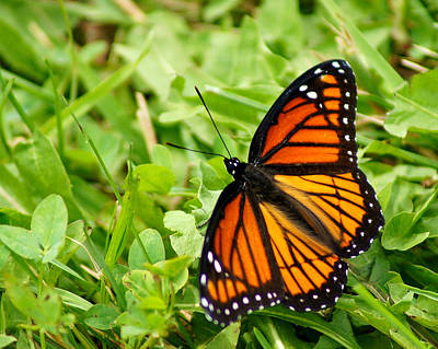 Appleton Art Photograph - Monarch Butterfly by Carol Toepke