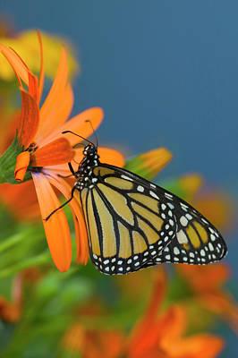 African Daisy Photograph - Monarch Butterfly, Danaus Plexippus by Darrell Gulin
