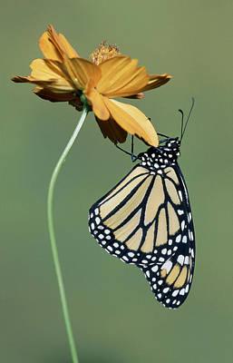 Photograph - Monarch Butterfly Danaus Plexippus by Millard H. Sharp