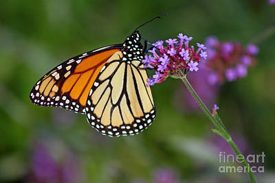 Monarch Butterfly In Garden Art Print by Karen Adams