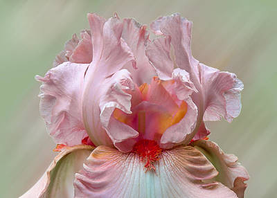 Photograph - Pink Electrabrite Bearded Iris by Patti Deters