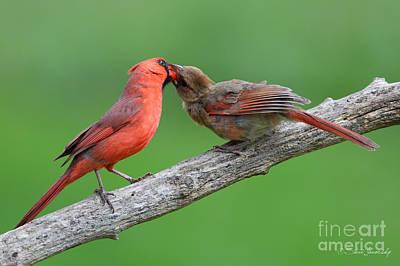Photograph - Northern Cardinal by Steve Javorsky