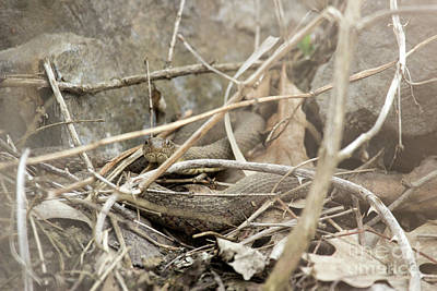 Photograph - Northern Water Snake by Jeannette Hunt