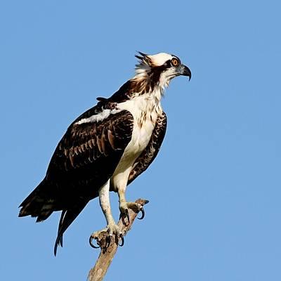 Photograph - Osprey by Ira Runyan
