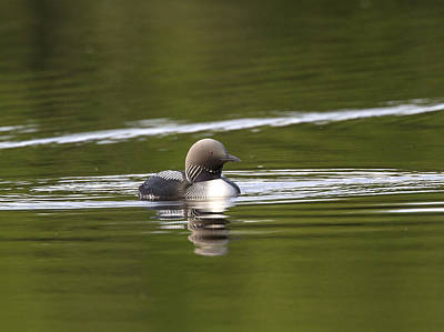 Photograph - Pacific Loon by Doug Lloyd