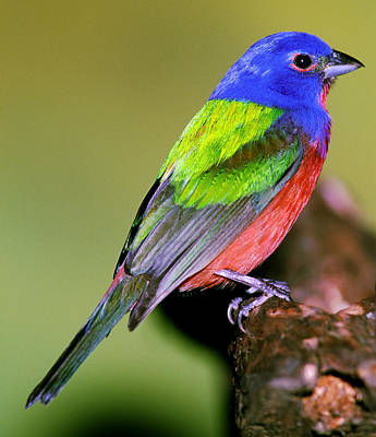 Photograph - Painted Bunting by Millard H. Sharp