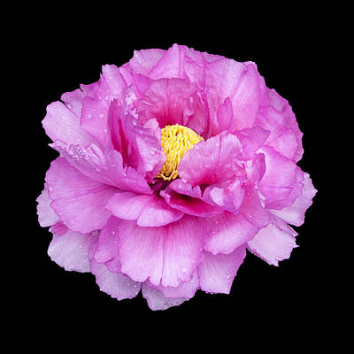 Photograph - Peony by Charles Harden