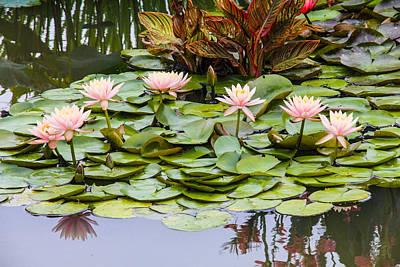 Photograph - 6 Pink Waterlilies by Jill Bell