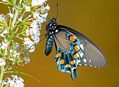 Battus Philenor Photograph - Pipevine Swallowtail Butterfly by Millard H. Sharp