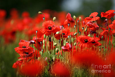 Blooming Photograph - Poppy Dream by Nailia Schwarz