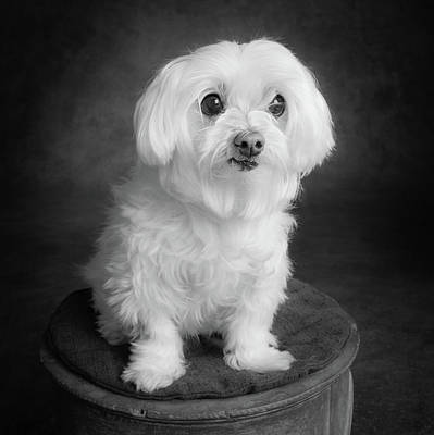 Maltese Dog Photograph - Portrait Of A Maltese Dog by Animal Images