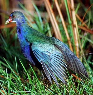 Photograph - Purple Gallinule Porphyrio Martinica by Millard H. Sharp