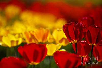 Vibrant Photograph - Red And Yellow Tulips by Nailia Schwarz