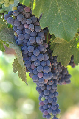 Napa Photograph - Red Grapes On The Vine by Brandon Bourdages