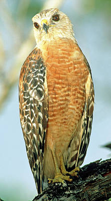 Photograph - Red Shouldered Hawk by Millard H. Sharp