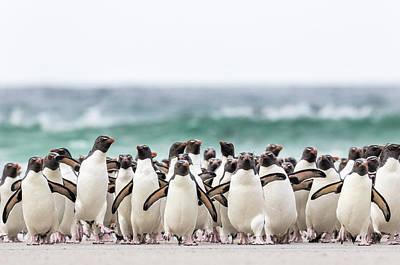 Rockhopper Penguin (eudyptes Chrysocome Art Print