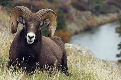 Rocky Mountain Sheep Photograph - Rocky Mountain Bighorn Sheep Ram by Ken Archer