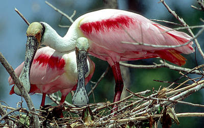 Photograph - Roseate Spoonbill Pair by Millard H. Sharp
